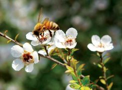 Manuka Honey, 3 Reasons to Make the Switch!